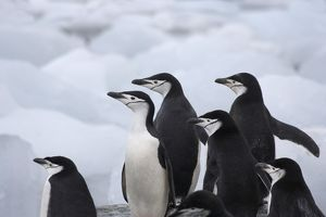 Chinstrap Penguins (Pygoscelis antarcticus) on ice, South Orkney Islands, Antarctica