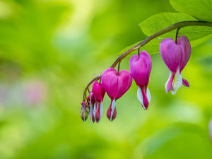 usa/close up bleeding heart flower