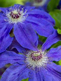 usa/close up blue clematis
