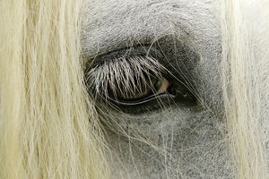 usa/kentucky/close up details gypsy vanner horse eyeball crestwood