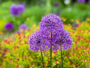 usa/close up flowering bulbous perennial purple allium