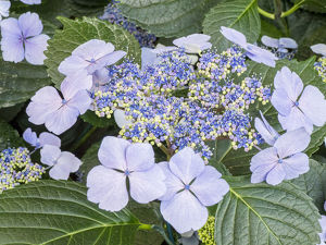 usa/close up purple lacecap hydrangea