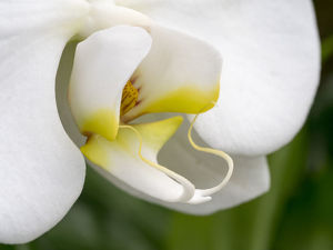 usa/close up white orchid