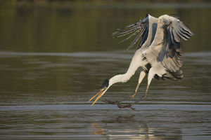 animals/cocoi heron pouncing