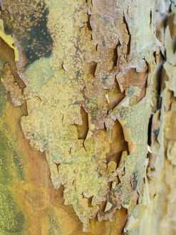 usa/colorful bark tree garden