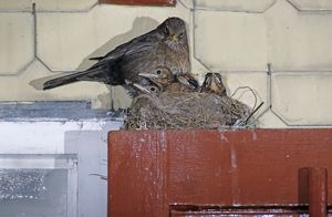 Common Blackbird, Turdus merula, female on nest with young on top of Window, Oberaegeri