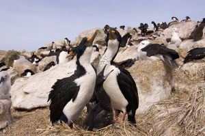 cormorants, Phalacrocorax atriceps, or blue-eyed shags, with chick on nest, New Island
