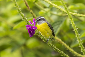 south america/costa rica arenal bananaquit feeding vervain
