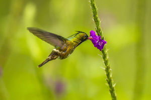 south america/costa rica arenal black crested coquette feeding