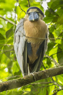 south america/costa rica boat billed heron close up credit as