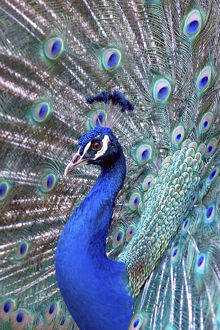 Costa Rica, Central America. Captive. India Blue Peacock displaying