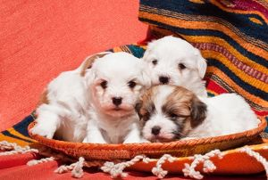 Coton de Tulear puppies lying in an Indian basket on a Indian blanket