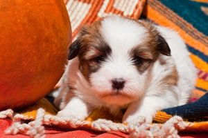Coton de Tulear puppy lying on an Indian blanket next to a gourd and Indian basket