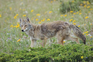 animals/coyote late spring