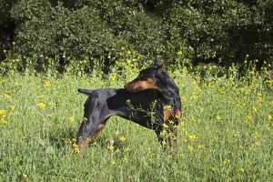 A Doberman Pinscher looking over her shoulder in a field of yellow flowers