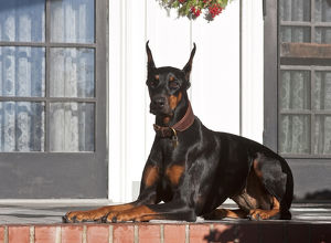 A Doberman Pinscher lying on a red brick patio in front of a house