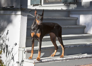 A Doberman Pinscher standing on stairs leading onto a patio of a house