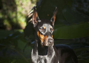 A Doberman Pinscher standing in a sunny spot very intent on something