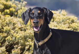 A Doberman Pinscher standing in front of yellow flowers