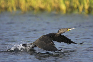 Eurasian Cormorant (phalacrocorax carbo) in the Danube Delta, starting out of the water