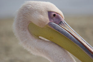 Europe, Greece, Mykonos. Close-up of head of pink pelican