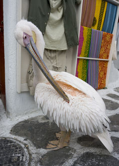 Europe, Greece, Mykonos, Hora. Pelican grooming in alleyway
