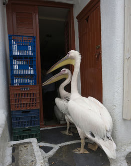 Europe, Greece, Mykonos, Hora. Two pelicans going in back door of restaurant. Credit as
