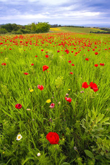 landscape/europe italy tuscany red poppies field