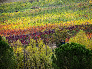 Europe;Italy;Tuscany;Chianti;Autumn Vinyards Rows with Bright Color