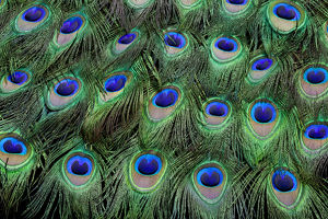 Eye-spots on Male Peacock tail feathers fanned out in colorful designed pattern