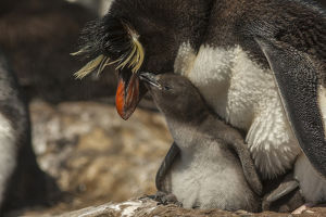Falkland Islands, Bleaker Island. Rockhopper penguin and chick