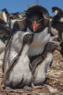 Falkland Islands, Bleaker Island. Rockhopper penguin and chicks