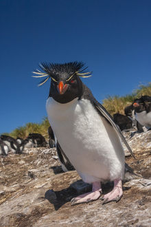 Falkland Islands, Bleaker Island. Rockhopper penguin close-up