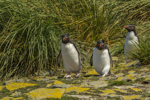 Falkland Islands, Bleaker Island. Rockhopper penguins and tussac grass. Credit as