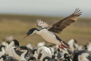 Falkland Islands, Bleaker Island. Imperial shag lands in nesting colony. Credit as