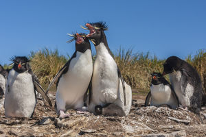 Falkland Islands, Bleaker Island. Rockhopper penguins sing duet