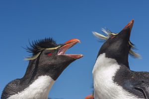 Falkland Islands, Bleaker Island. Rockhopper penguins greeting
