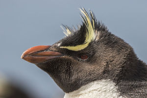 Falkland Islands, Bleaker Island. Rockhopper penguin portrait