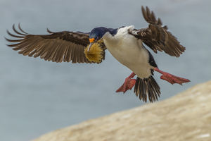 Falkland Islands, Carcass Island. Imperial shag flies with nesting material. Credit as