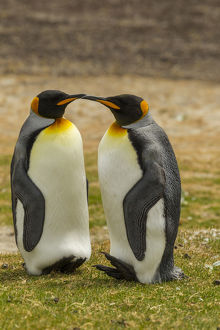 Falkland Islands, East Falkland, Saunders Island. Pair of king penguins. Credit as