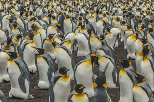 Falkland Islands, East Falkland, Volunteer Point. King penguin colony. Credit as
