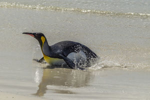 Falkland Islands, East Falkland, Volunteer Point. King penguin on beach. Credit as