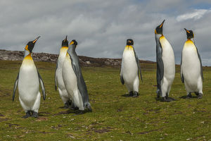 Falkland Islands, East Falkland, Volunteer Point. Members of king penguin colony