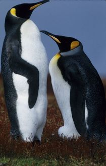 Falkland Islands. Two king penguins stand in tundra vegetation. Credit as: Joanne
