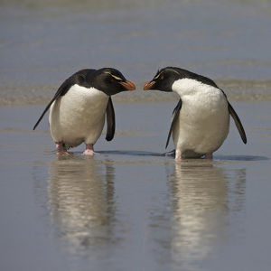 Falkland Islands. Rockhopper penguins on beach