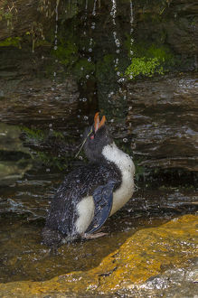 Falkland Islands, Saunders Island. Rockhopper penguin bathing