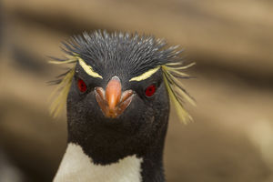 Falkland Islands, Saunders Island. Rockhopper penguin portrait