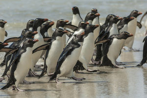 Falkland Islands, Saunders Island. Rockhopper penguins return to beach from ocean