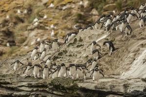 Falkland Islands, Saunders Island. Rockhopper penguins heading for beach. Credit as