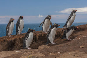 Falkland Islands, Saunders Island. Group of rockhopper penguins